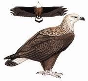 玉带海雕 Pallas's Sea-Eagle