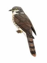 霍氏鹰鹃 Hodgson's Hawk-Cuckoo