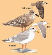 灰翅鸥 Glaucous-winged Gull