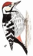 白背啄木鸟 White-backed Woodpecker