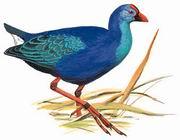 紫水鸡 Purple Swamphen