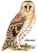 草鸮 Grass Owl