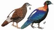 绿尾虹雉 Chinese Monal Pheasant