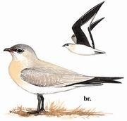 灰燕鸻 Small Pratincole