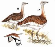 大鸨 Great Bustard