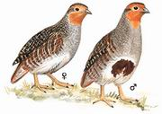 灰山鹑 Grey Partridge