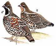 花尾榛鸡 Hazel Grouse