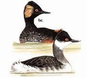 黑颈 Black-necked Grebe
