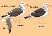 灰林银鸥 Heuglin's Gull