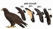 乌雕 Greater Spotted Eagle