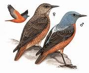 白背矶鸫 Rufous-tailed Rock-Thrush