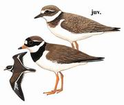 剑鸻 Common Ringed Plover