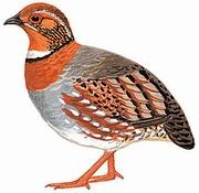 红胸山鹧鸪 Red-breasted Hill Partridge