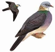 灰林鸽 Ashy Wood Pigeon