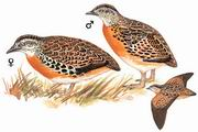 林三趾鹑 Small Buttonquail