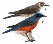 栗腹矶鸫 Chestnut-bellied RockThrush