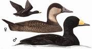 黑海番鸭 Black Scoter
