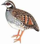 台湾山鹧鸪 White-throated Hill Partridge