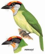 金喉拟啄木鸟 Golden-throated Barbet