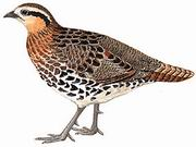 棕胸竹鸡 Mountain Bamboo-Partridge