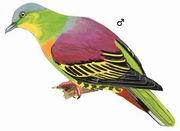 灰头绿鸠 Pompadour Green Pigeon