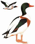 翘鼻麻鸭 Common Shelduck