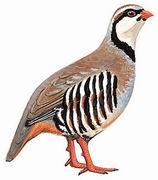 石鸡 Chukar