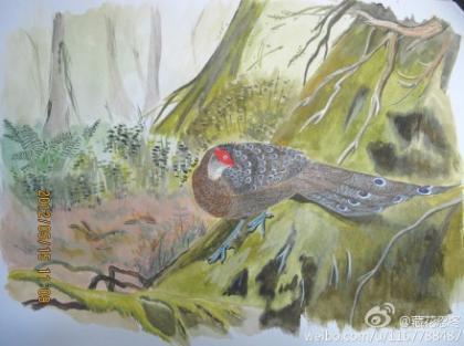 海南孔雀雉 Hainan Peacock Pheasant