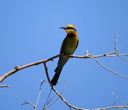 彩虹蜂虎 Rainbow Bee-eater