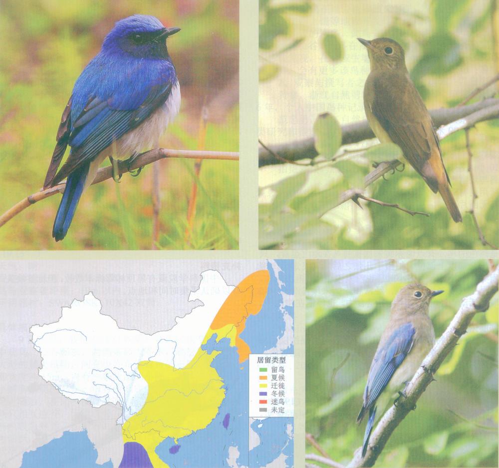 白腹蓝鹟 Blue-and-white Flycatcher