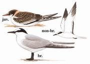 白腰燕鸥 Aleutian Tern