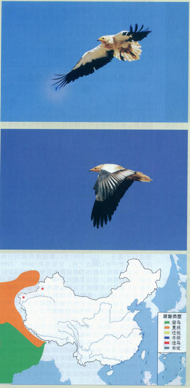 白兀鹫 Egyptian Vulture