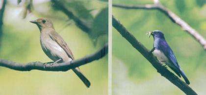 琉璃蓝鹟  Zappey's Flycatcher