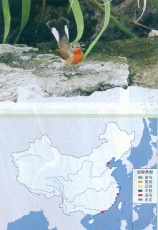 红胸姬鹟 Red-breasted Flycatcher