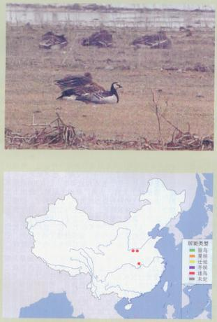 白颊黑雁 Barnacle Goose